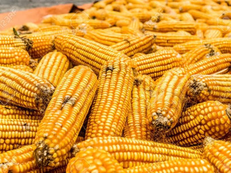 Aumentan importaciones de maíz amarillo