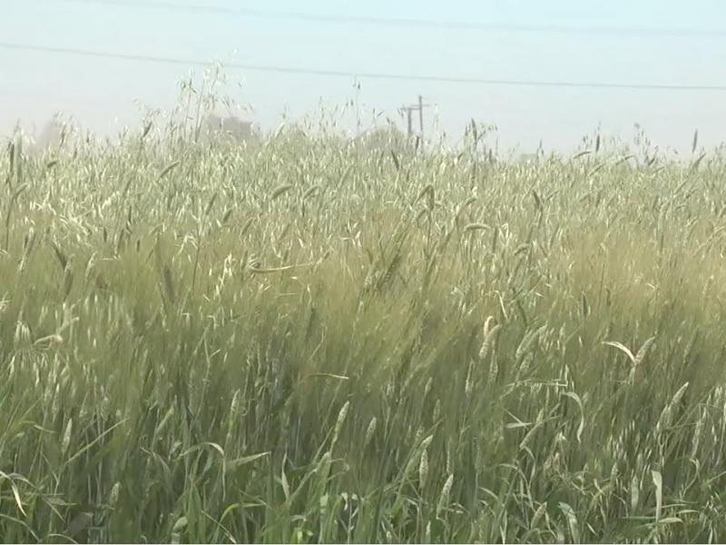 Aumento de 4.8% al precio del trigo