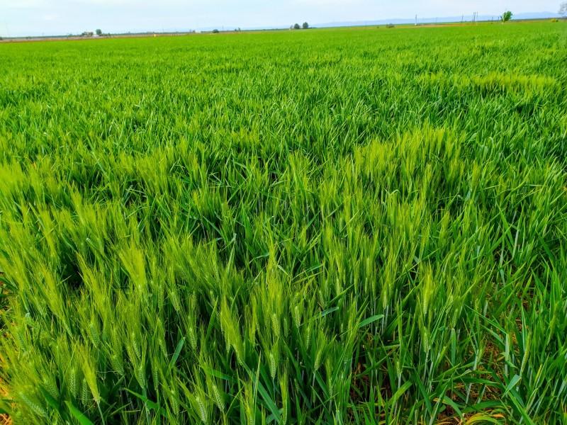 Aun con menos horas frío, trigo no se ha afectado