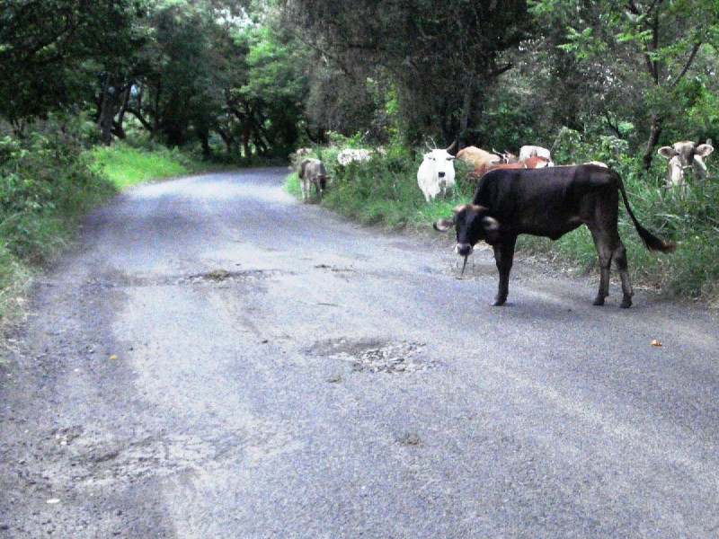 Automovilistas piden control de ganado en carreteras