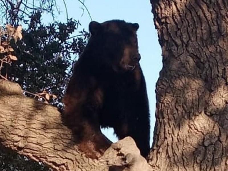 Autoridades localizan oso en inmediaciones de Agua Prieta