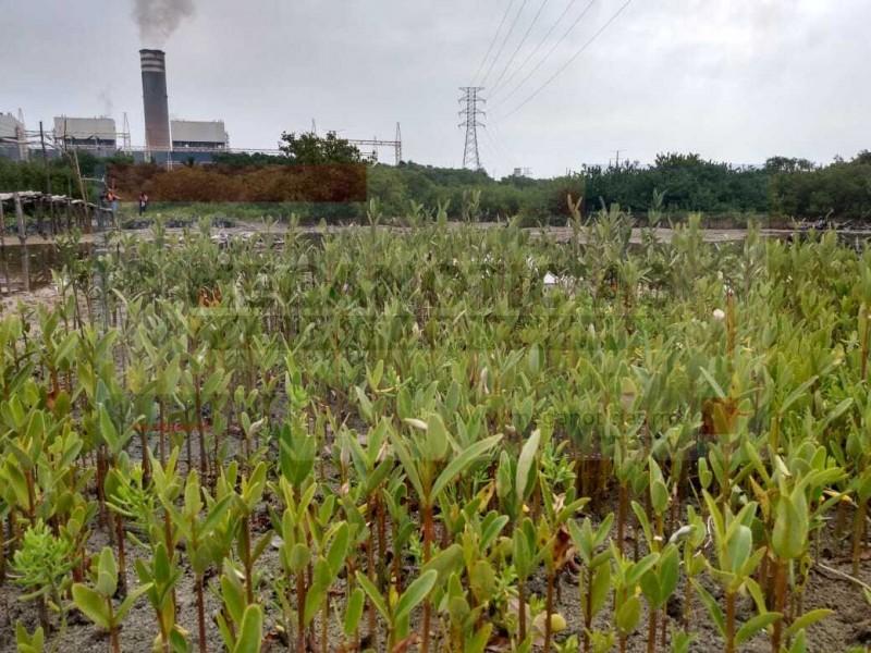 Avanza proyecto de restauración de manglar en Tuxpan