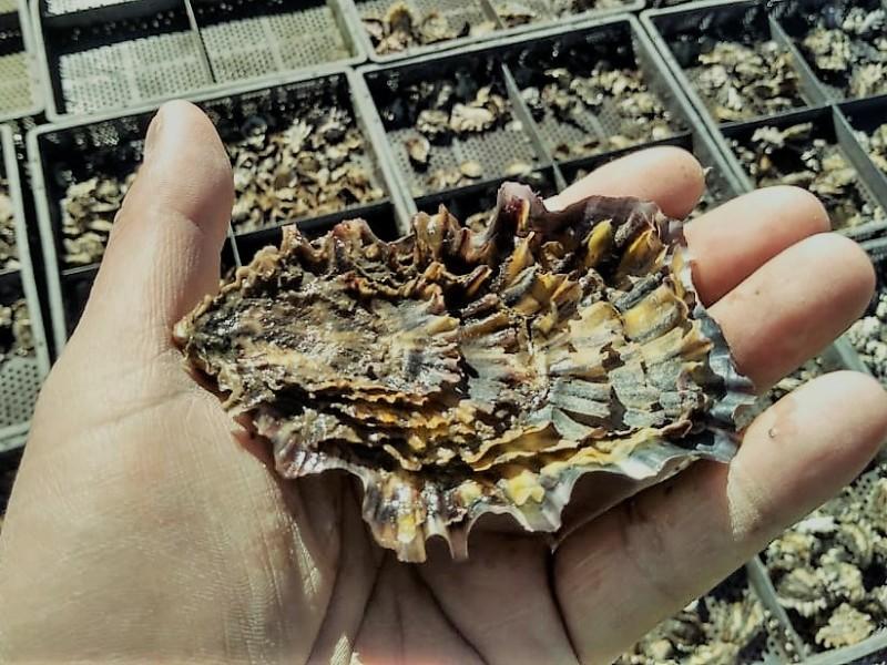 Avanza siembra de ostión en un 80%, proyecto de ITG