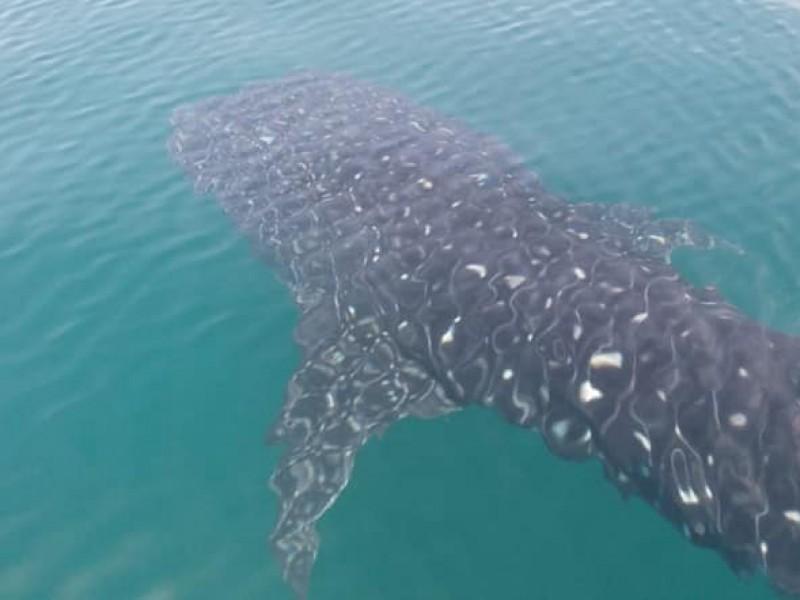 Avistamiento de tiburon ballena y delfines en Puerto Arista