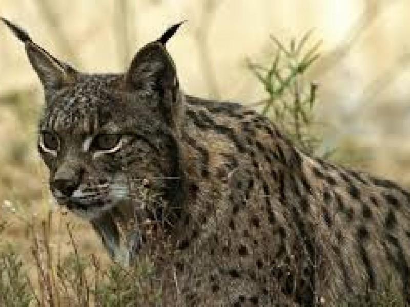 Ayuntamiento sigue sin reporte de felino en Jurica