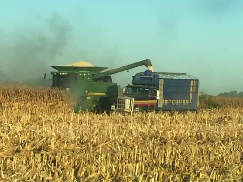 Baja en precio de maíz pone en alerta a agricultores