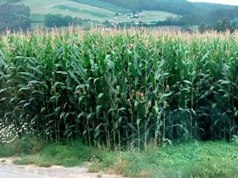 Baja producción de maíz en la región Zamora