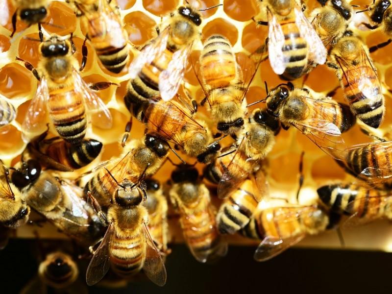 Baja producción de miel zacatecana