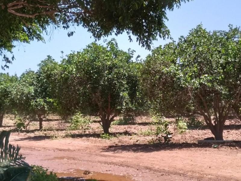 Baja productividad en naranjos de San José