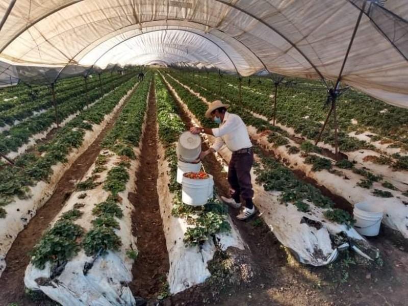 Brindarán asesoría gratuita a productores interesados en exportar sus frutillas