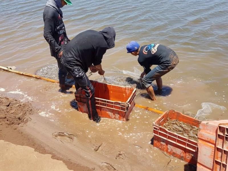 📹Brota mancha blanca en granjas acuícolas de Ahome