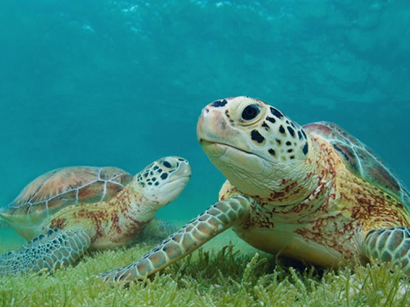 Buen años para desove de tortuga golfina