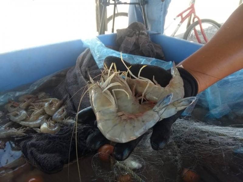 Buena captura de camarón en ribera