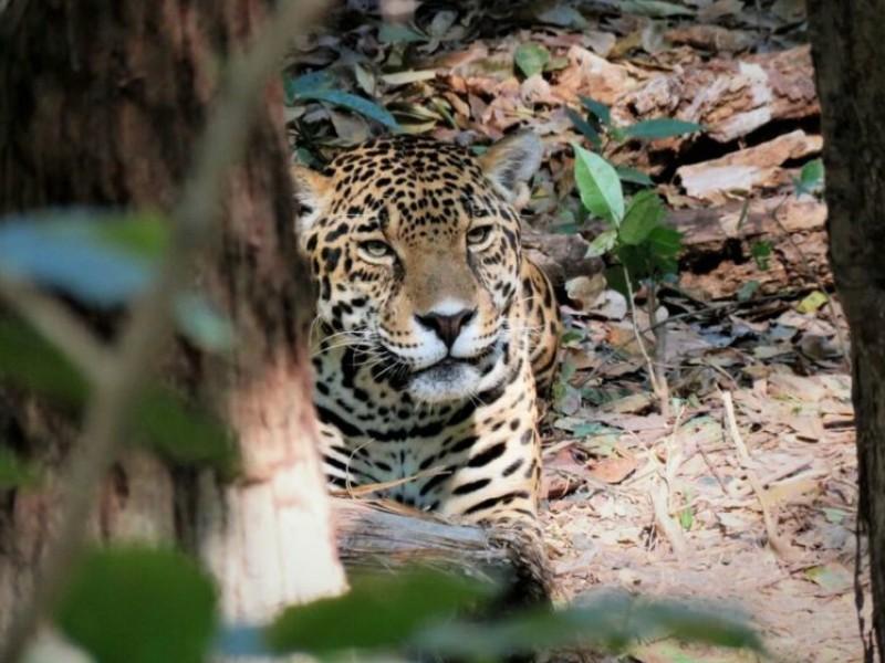 Buscan concientizar a población sobre peligro del Jaguar