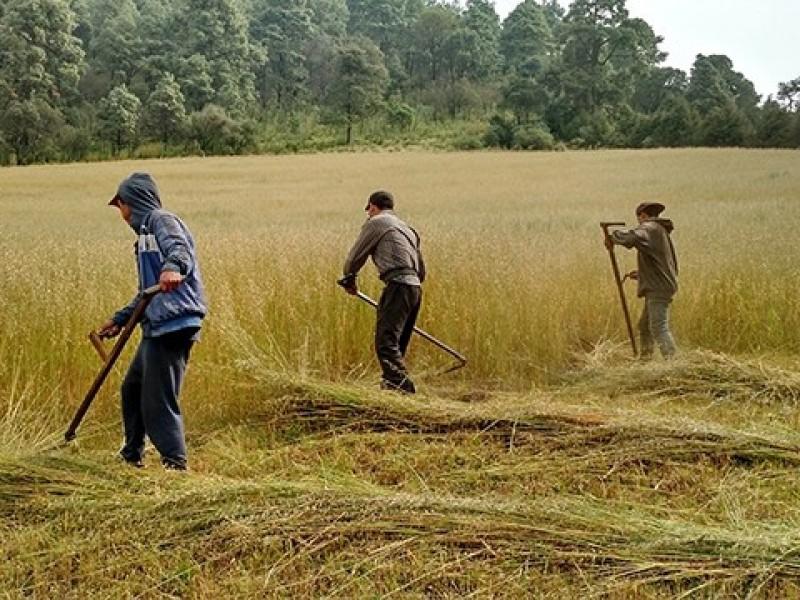 Buscan desarrollar cultivos de avena y trigo en Nayarit
