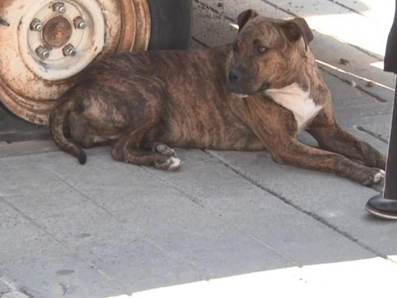 Buscan esterilizar a perros callejeros