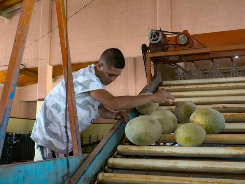 Buscan melón lagunero sea de exportación