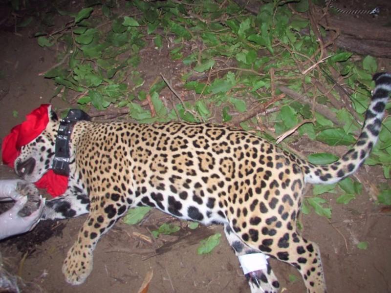 Buscan la preservación de los jaguares en Nayarit