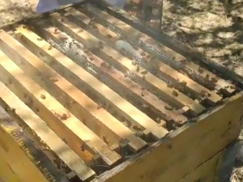 Buscan proteger a la abeja con nueva Ley