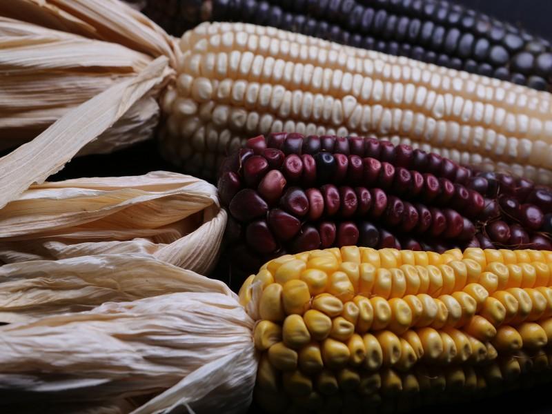 Buscan suficiencia alimentaria en maíz para Zacatecas