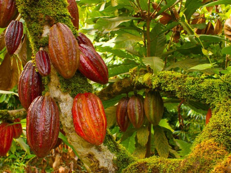 Cacao valorado fuera, sin apoyo en Chiapas
