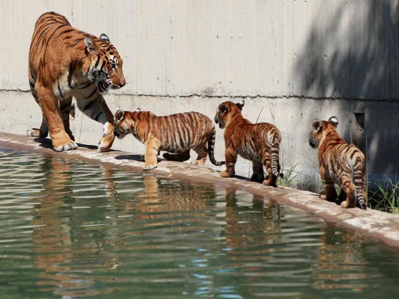 Cachorros de tigre deleitan a visitantes de zoológico en Guadalajara