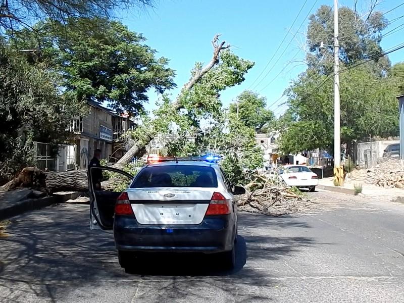 Cae árbol sobre calle cinco de febrero