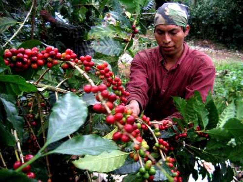 Cafeticultores sin recursos federales