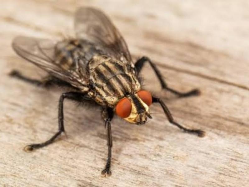 Calor y humedad ocasionan plaga de moscas en Hermosillo