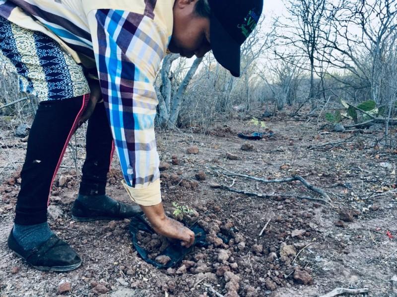 Campesinos reforestan parte de la sierra de Barobampo