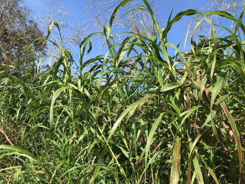 Campo Experimental Cotaxtla mejora semillas de maíz y frijol