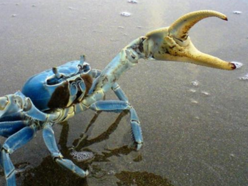 Cangrejo azul, desaparece en cuatro puntos de Veracruz