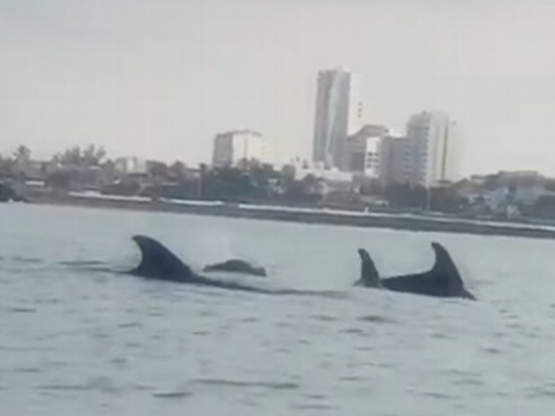 Captan delfines en Boca del Río, Veracruz