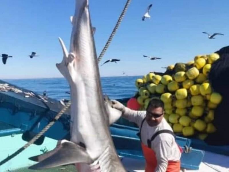 Captura de tiburón fue incidental