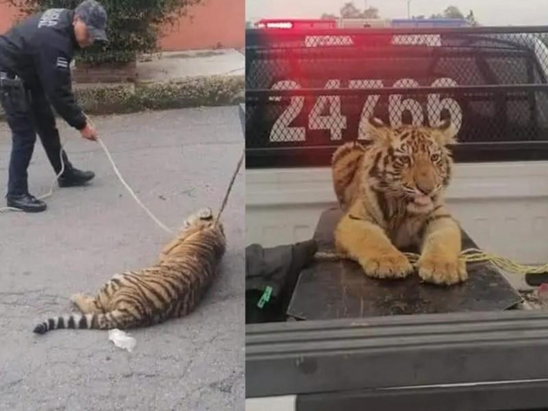 Capturan a tigre de bengala que deambulaba en la calle