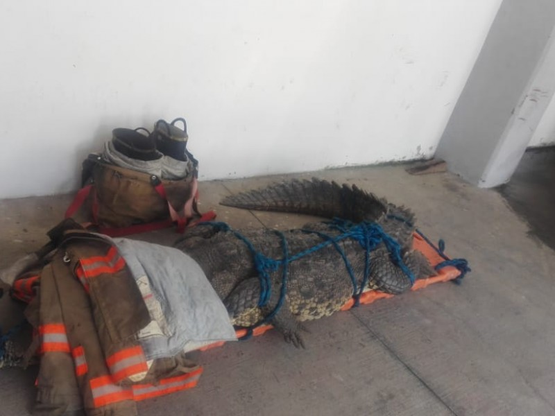 Capturan cocodrilo en calles de Nuevo Vallarta