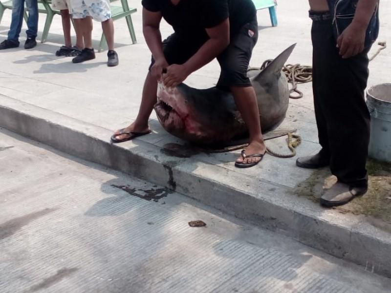 Capturan ejemplar de tiburón toro en Veracruz