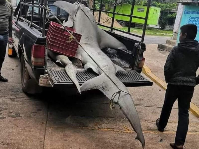 Capturan tiburón martillo especie en peligro de extinción en Veracruz