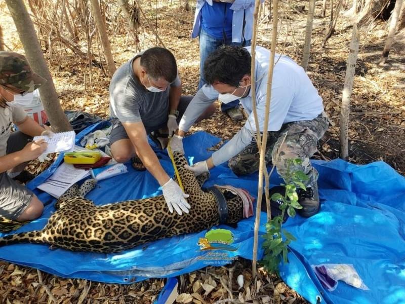 Capturan y colocan collar a jaguar en Marismas Nacionales Nayarit