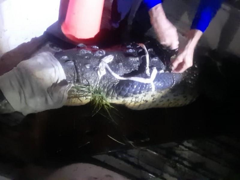 Capturan y reubican en San Blas cocodrilo de 3 metros