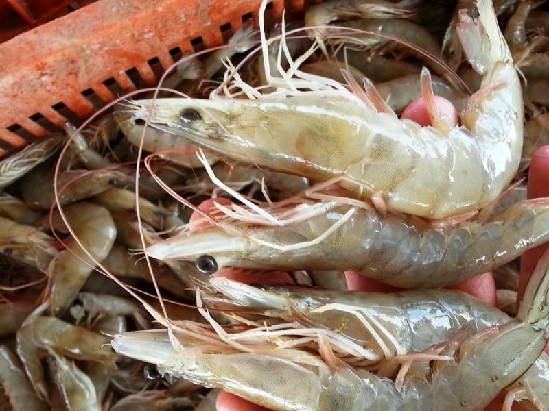 Certificación de camarón, un respiro para pescadores