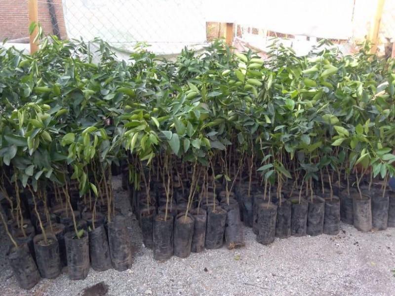 Chiapas con futuro en producción de limón persa