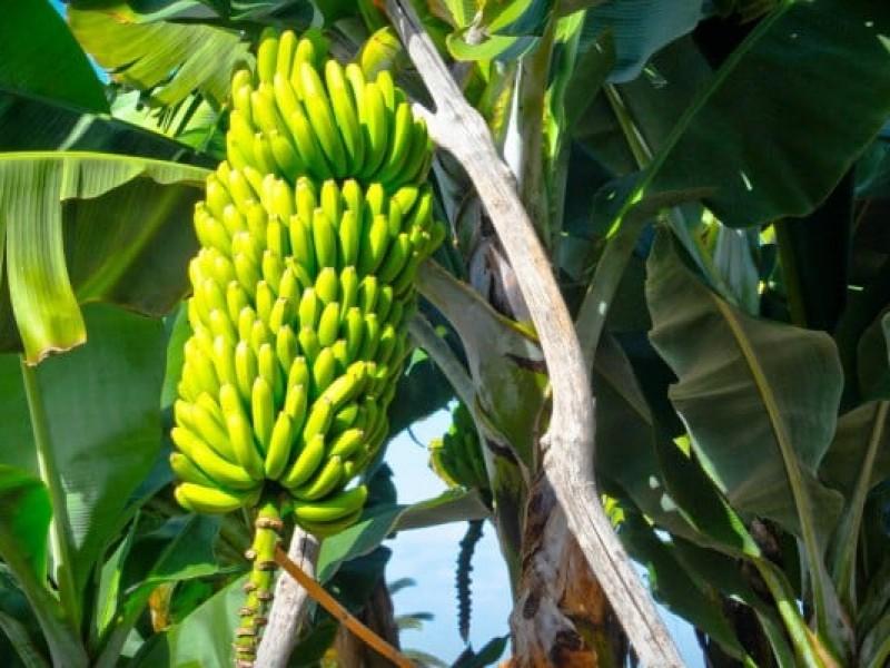 Chiapas encabeza primeros lugares en producción de frutos