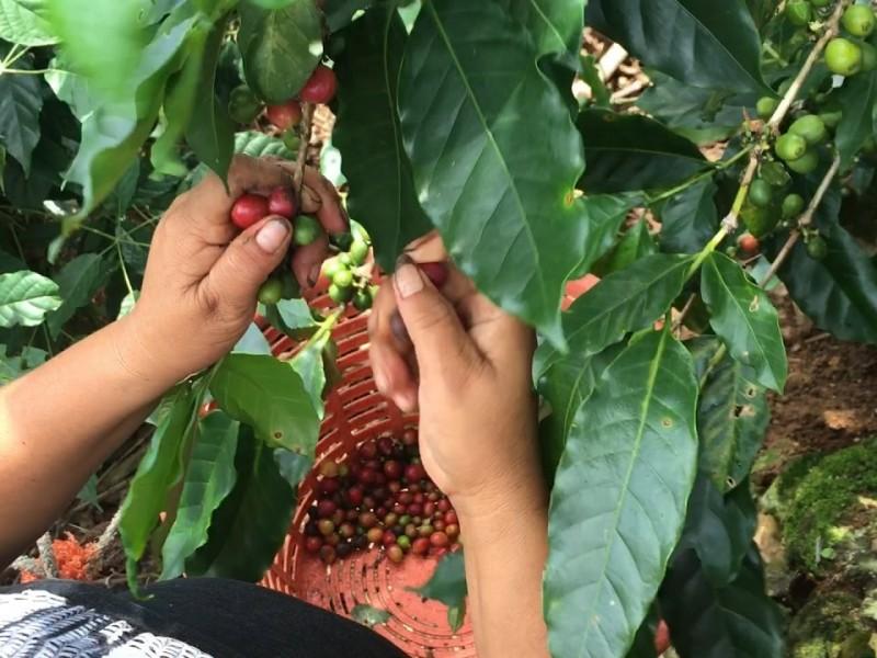 Chiapas, primer lugar en producción de café