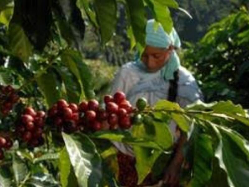 Chiapas principal productor de café de calidad