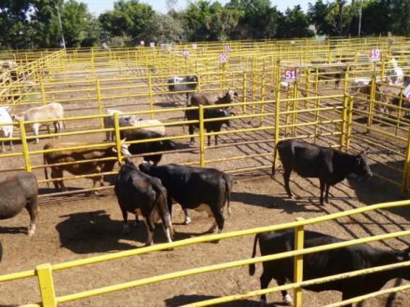 Chiapas se destaca en producción de ganado bovino