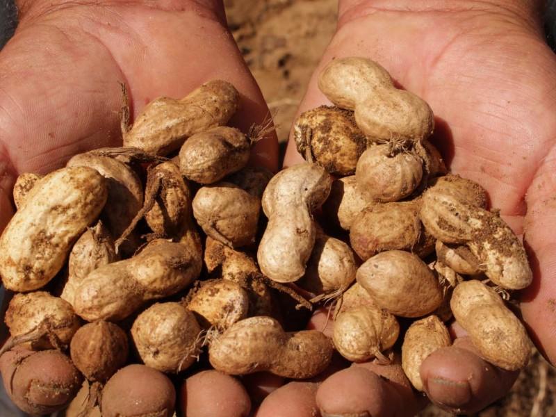 Chiapas segundo lugar en producción de cacahuate en México