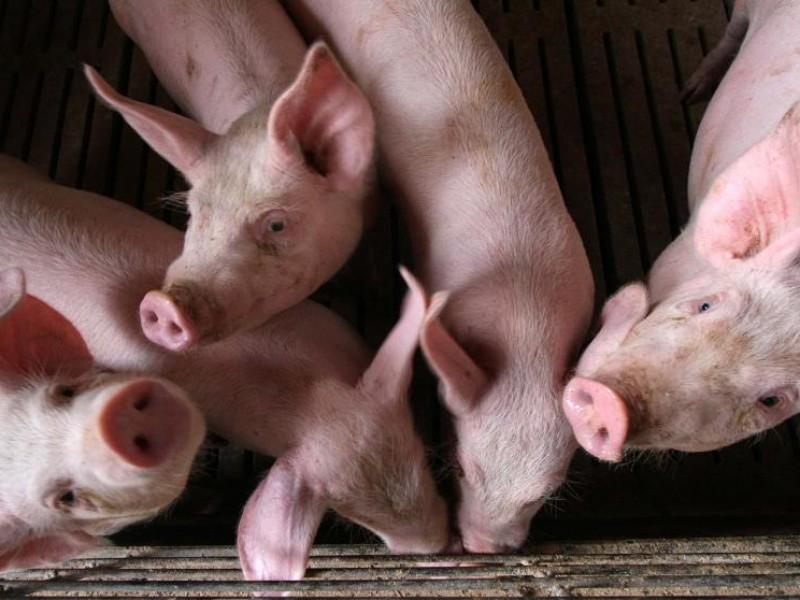 China minimiza potencial pandémico de gripe porcina