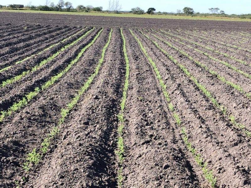 Ciclo agrícola en el mayo será del 80%