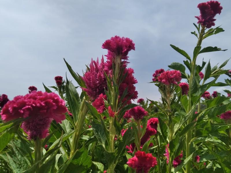 Clima mermó 50% producción de flor de muerto